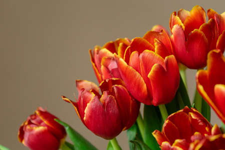 Buds of red tulips with green stems. Floral bouquet on beige backgroundの素材 [FY310162409354]
