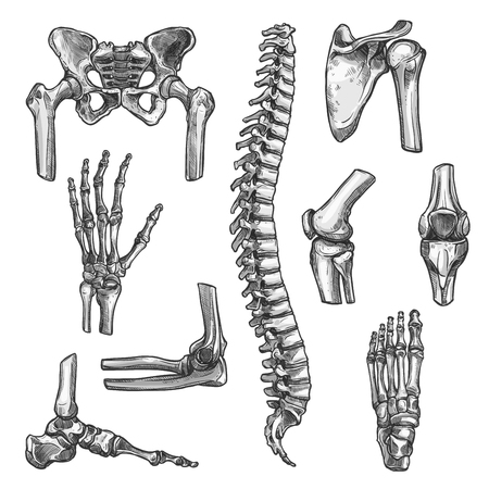Illustration pour Bone and joints sketches set. Human skeleton hand, knee and shoulder, hip, foot, spine, leg and arm, finger, elbow, pelvis, thorax, ankle, wrist icon for orthopedics and rheumatology medicine design - image libre de droit