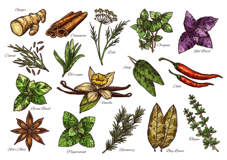 Illustration for Spices and herbs sketch of fresh condiment with their corresponding names - Royalty Free Image