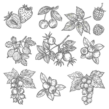 Illustration pour Garden and wild berries sketches. Strawberry, cherry and blueberry, raspberry, gooseberry and briar, red and black currant with leaf icon for food and natural juice design - image libre de droit