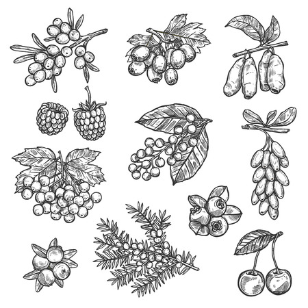 Illustration pour Berries sketch of raspberry, strawberry, sea buckthorn or hawthorn and whitethorn fruits. Forest cherry, lingonberry or cowberry and bilberry, viburnum berry or blueberry and currant with honeysuckle - image libre de droit