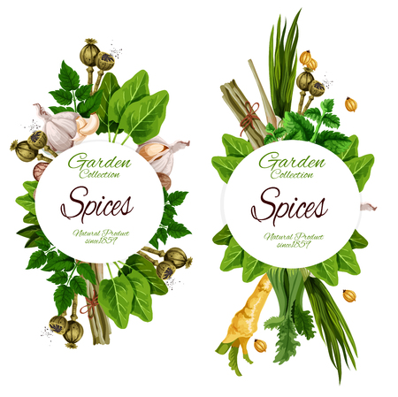 Illustration pour Organic spices and herbal seasonings. Vector ginger root, chicory or lavender and nutmeg, peppermint, garlic and olives, chili pepper or turmeric and sage, bay leaf - image libre de droit