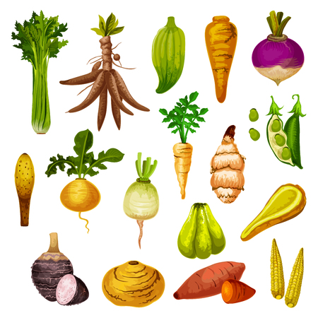 Illustration for Root vegetables or veggie tuber icons. Vector sweet potato, radish or turnip and legume bread beans, natural jicama and cassava, manioc or celery and rutabaga, caigua and yam, little corn - Royalty Free Image