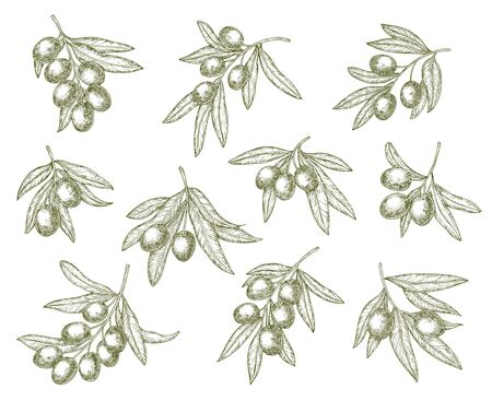 Illustration pour Organic olives branch sketches, quality food and olive oil products. Vector Greek Mediterranean cuisine green olives harvest, extra virgin oil or natural cosmetic symbols - image libre de droit