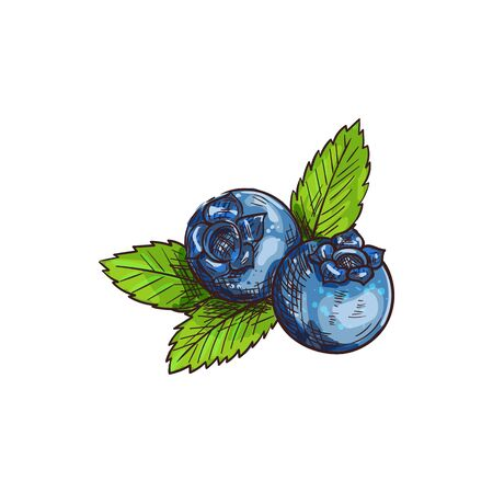 Illustration pour Huckleberry bilberry blueberry whortleberry isolated sketch. Vector blue berris with leaf, food dessert - image libre de droit