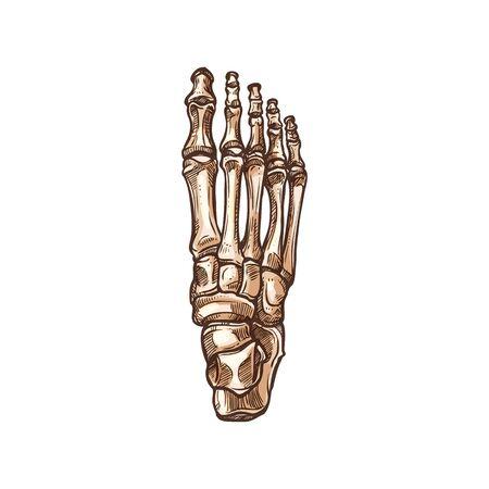 Illustration pour Foot bones skeleton isolated sketch. Vector detailed human anatomy, metatarsal and tarsal bones - image libre de droit