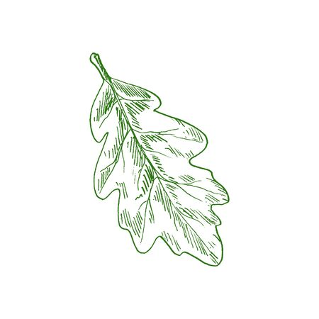 Oak tree leaf isolated sketch of acorn leafage. Vector green leafage, element of tree