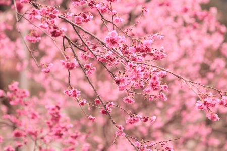 Photo pour Sakura - image libre de droit