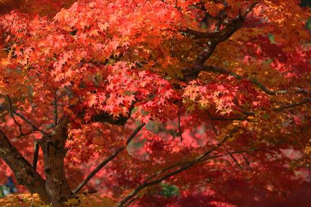 Photo pour fall season in japan - image libre de droit