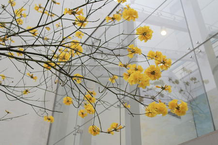 chrysotricha flower
