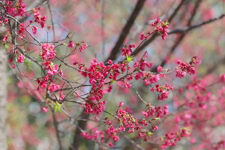 Foto de Pink cherry blossoms, Blooming Taiwan Cherry Blossoms - Imagen libre de derechos