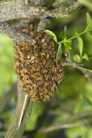 Honey Bee Hive After Swarming