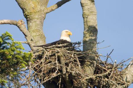 Photo pour American bald eagle in its nest - image libre de droit