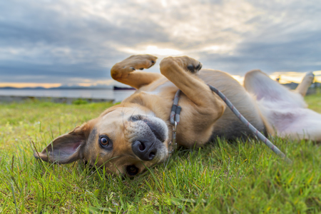 Adorable mixed breed dog rolling in grass under sunset clouds