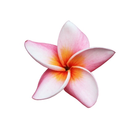 Photo pour Frangipani or Plumeria flower - image libre de droit