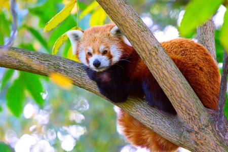 Red panda relaxing on the branch