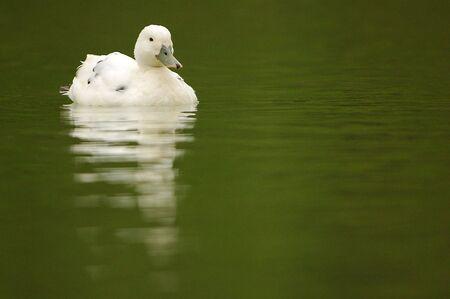 Un canard blanc avec quelques taches