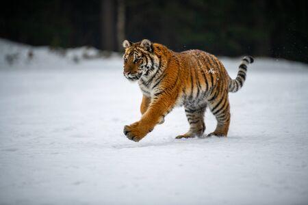 Foto de Siberian Tiger in the snow (Panthera tigris) - Imagen libre de derechos