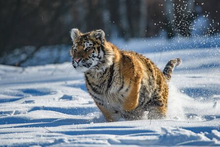 Photo pour Siberian Tiger in the snow (Panthera tigris) - image libre de droit