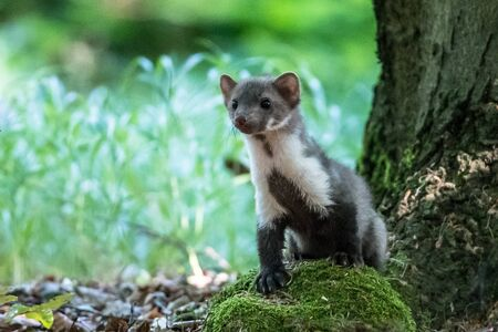 Photo pour Stone marten, Martes foina, with clear green background. Detail portrait of forest animal. Small predator sitting on the beautiful green mossy tree trunk in the forest. - image libre de droit