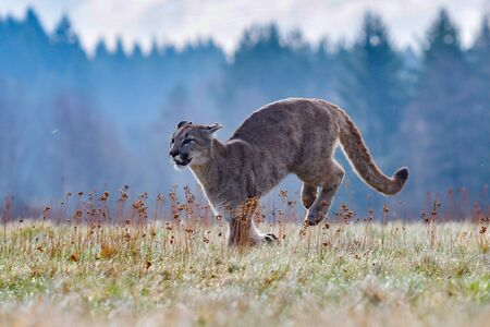 Photo pour Cougar (Puma concolor), also commonly known as the mountain lion, puma, panther, or catamount. is the greatest of any large wild terrestrial mammal in the western hemisphere - image libre de droit