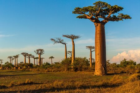 Photo for Beautiful Baobab trees at sunset at the avenue of the baobabs in Madagascar - Royalty Free Image