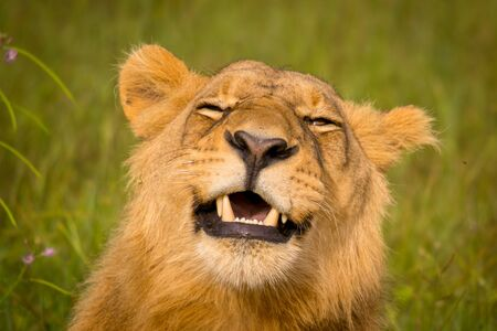 Photo pour Beautiful Lion Caesar in the golden grass of Masai Mara, Kenya - image libre de droit