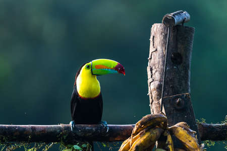Photo pour Keel-billed Toucan - Ramphastos sulfuratus, large colorful toucan from Costa Rica forest with very colored beak. - image libre de droit