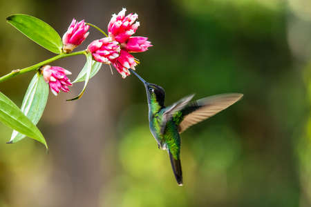 Photo pour Blue hummingbird Violet Sabrewing flying next to beautiful red flower. Tinny bird fly in jungle. Wildlife in tropic Costa Rica. Two bird sucking nectar from bloom in the forest. Bird behavior - image libre de droit