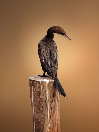 Cormorant, Shag standing on the wood