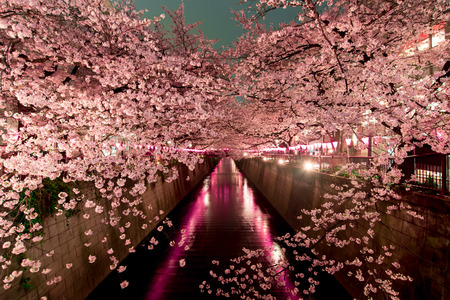 Cherry Blossoms at night in Tokyoの写真素材