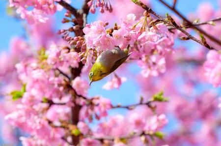 Photo pour White-eye Bird on Cherry Blossom and sakura - image libre de droit