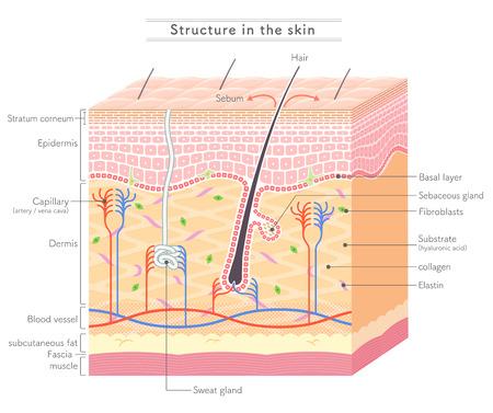 Illustration pour Structure in the skin English notation - image libre de droit