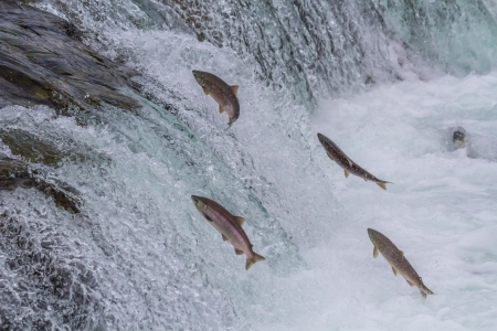Sockeye salmon jumping up Br
