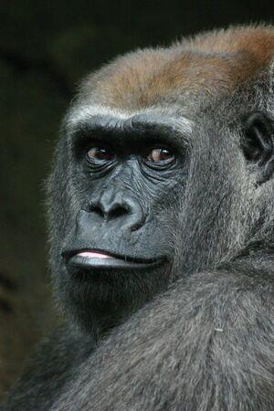 Western lowland gorilla (Gorilla gorilla) (captive)