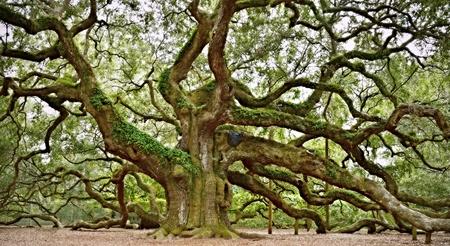 Foto per Angel Oak Tree Panorama - Immagine Royalty Free