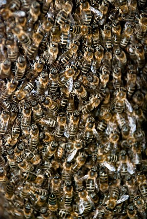 Honey Bee Swarm Close Up