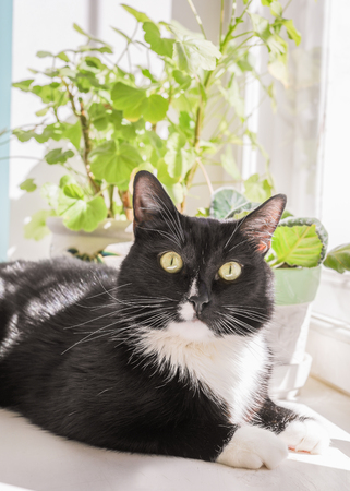 Black and white cat is lying on white windowsill and  looking at camera.