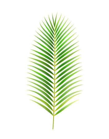 Illustration pour Exotic foliage and decoration of jungles and rainforests, isolated palm tree leaf. Straight flora of elongated shape. Twig or bush in warm spring or summertime season. Realistic 3d cartoon vector - image libre de droit