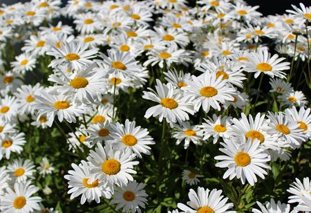 Photo for Full bloom Shasta daisies in mid summer - Royalty Free Image