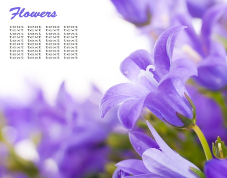 Flowers on a white background, dark blue hand bells with dew drops