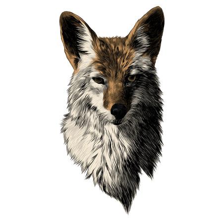 Coyote sketch, head vector graphics. Color picture illustration.