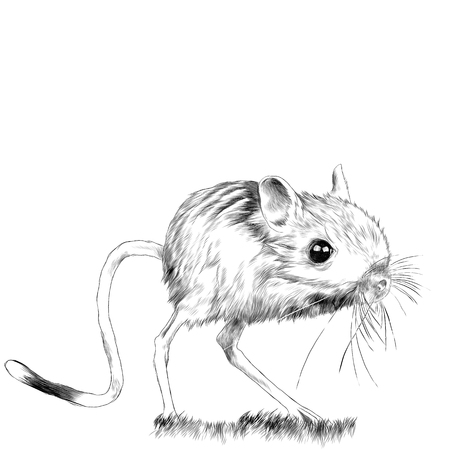 Jerboa standing in the grass sketch vector graphics monochrome drawing