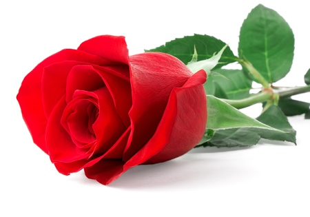 Red rose bud isolated on white background