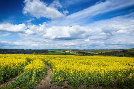 Photo pour Yellow fields, flowers of rape, colza. Agriculture, spring in Czech Republic. - image libre de droit