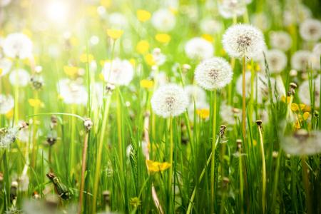Photo pour Dandelions on a summer meadow - image libre de droit