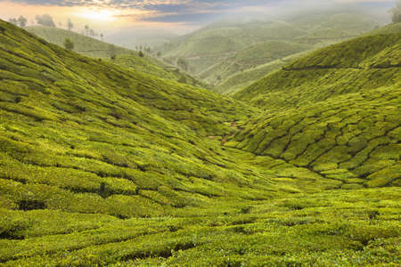 Tea Plantation in the highlands of Asia
