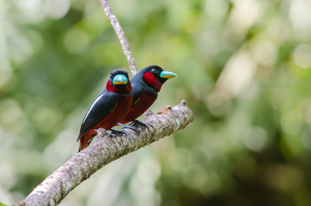 Black-and-red Broadbill(Cymbirhynchus macrorhynchos), beautiful uncommon bird on branch in deep forest, Kaeng kra chan national park,Thailand