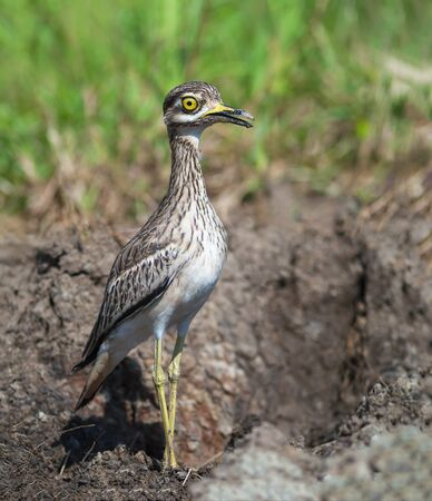 Indian Thick-knee(Burhinus indicus),the uncommon beautiful bird Standing in Meadow,Thailand