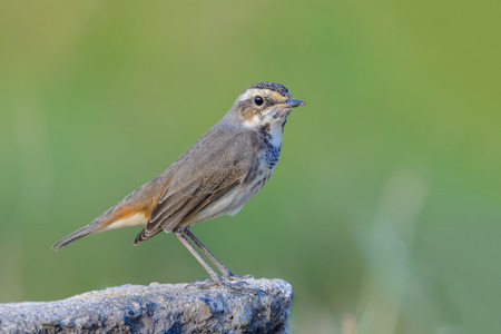 Bluethroat or Luscinia svecica, beautiful bird standing on stone in nature with green background, Thailand.